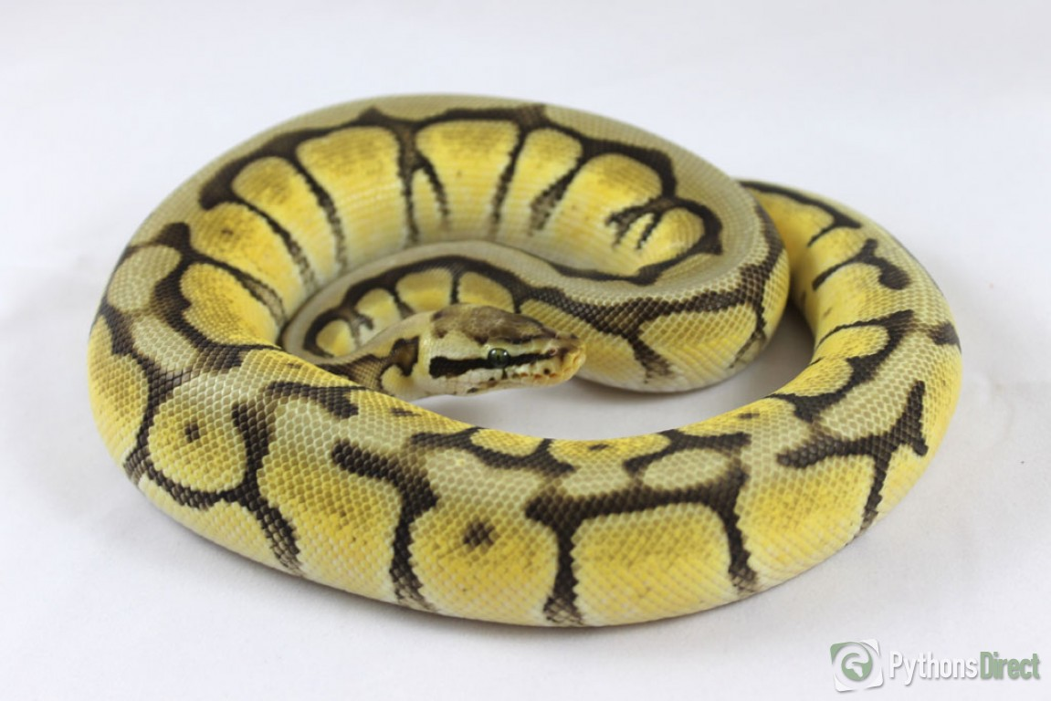 Black Bumble Bee >> Pythons Direct's Collection - Bumblebee Mojave