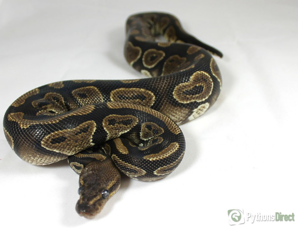 Lesser Bee Ball Python Pythons Direct's Colle...