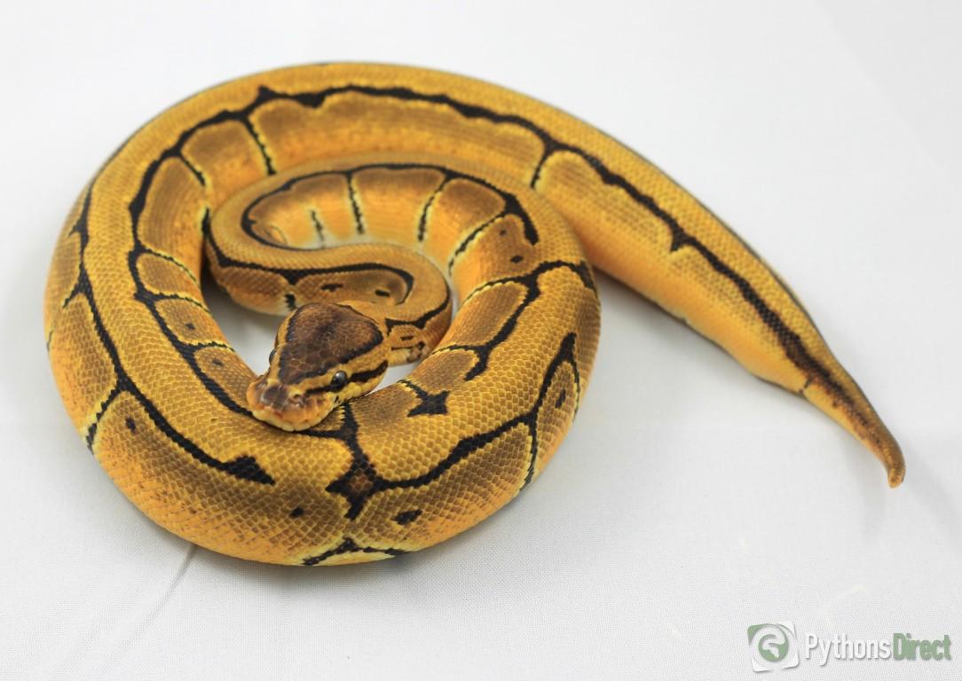 Pythons Directs Collection Orange Dream Pinstripe