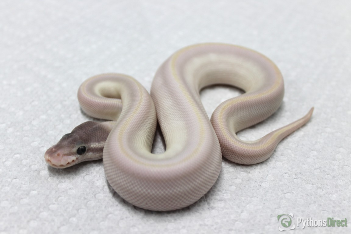 pythons directs collection super mojave